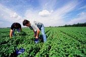 04588533-boeren-plukken